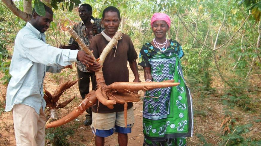 Farmers display high yielding of cassava. / File