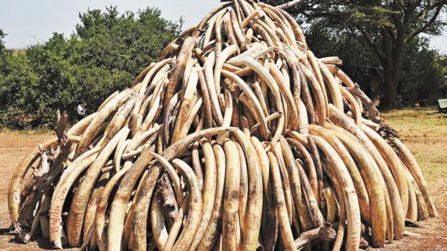 Impounded ivory prepared for burning. EABC seeks to end such illicit trade. (Net photo)