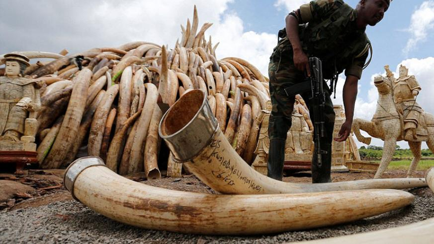 East African countries are keen to fight illegal ivory trade in the region. / Net