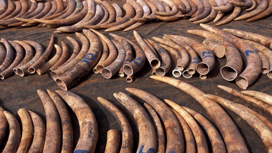 Elephant tusks. Elephants are some of the endangered wild animals targeted by poachers. / Net.