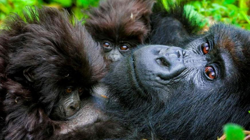 Baby gorillas cuddle with their mother. (File)
