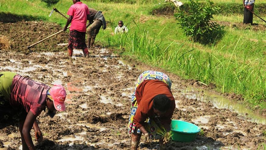 Farmers plant rice in Rugeramigozi 2 Marshland in Muhanga District. (Emmanuel Ntirenganya)