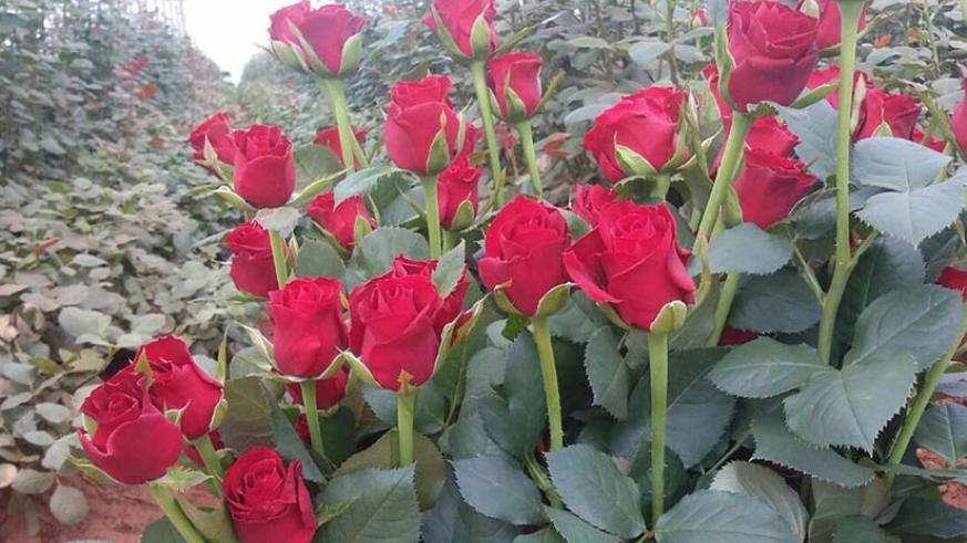 Cut roses from the Gishari Flower Park in Rwamagana District. The farm is managed by Bella Flowers, a government company that promotes flower growing in the country. / Courtesy.
