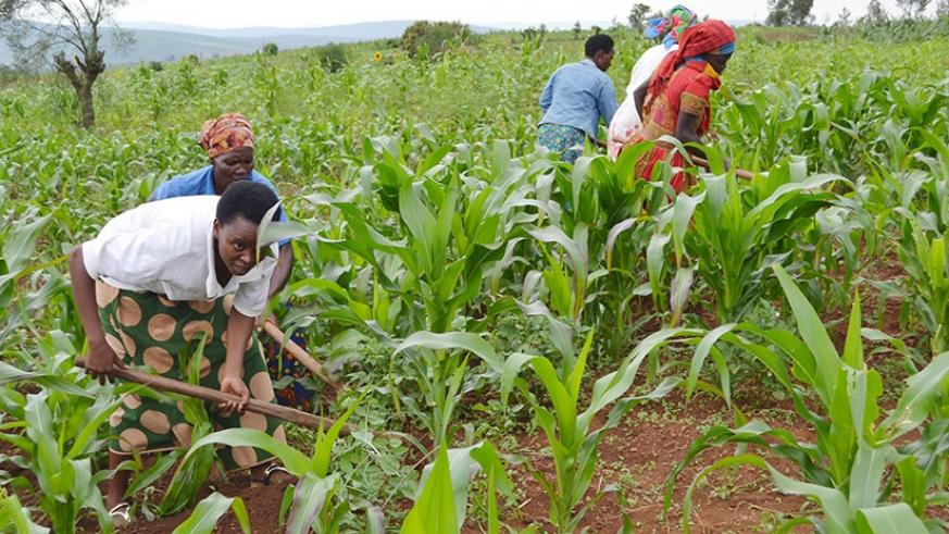 The women tend to their farm. (All photos by Donah. Mbabazi)