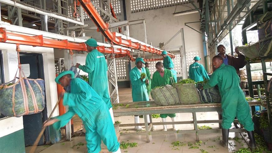 Kitabi Tea Factory workers at the leaf handling section. African governments are promoting value-addition. / Appolonia Uwanziga.