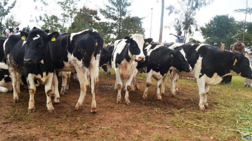 Some of the Friesian cows that were donated to Genocide widows. / Kelly Rwamapera