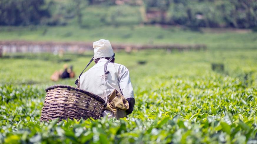A worker picks tea. The private sector will play a central role toward realisation of the SDGs. / Courtesy.
