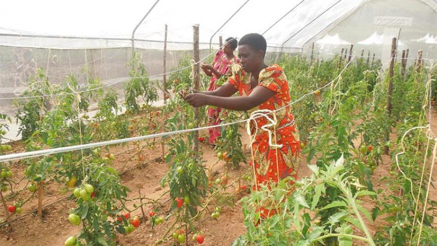 A farmer tending to her tomato garden. Women  entrepreneurs are set to benifit from FAO's new program. (A. Uwanziga)