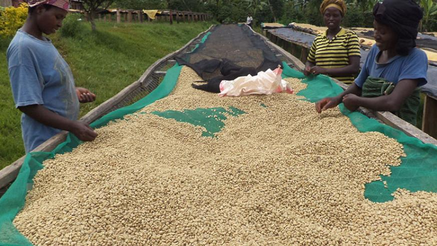Women sort coffee beans. Women coffee coops will target global buyers at the Kigali event.