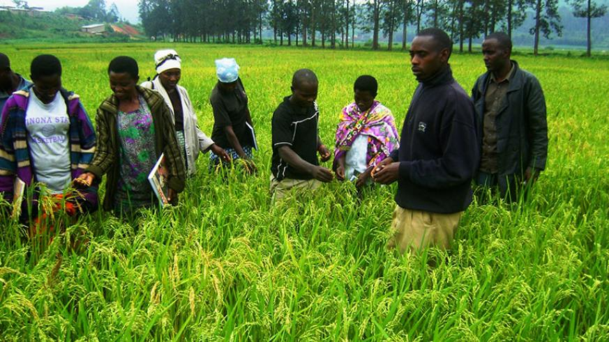 Rice farmers on a field study. Farmers in COMESA bloc do not access quality seeds which has affected output. / File