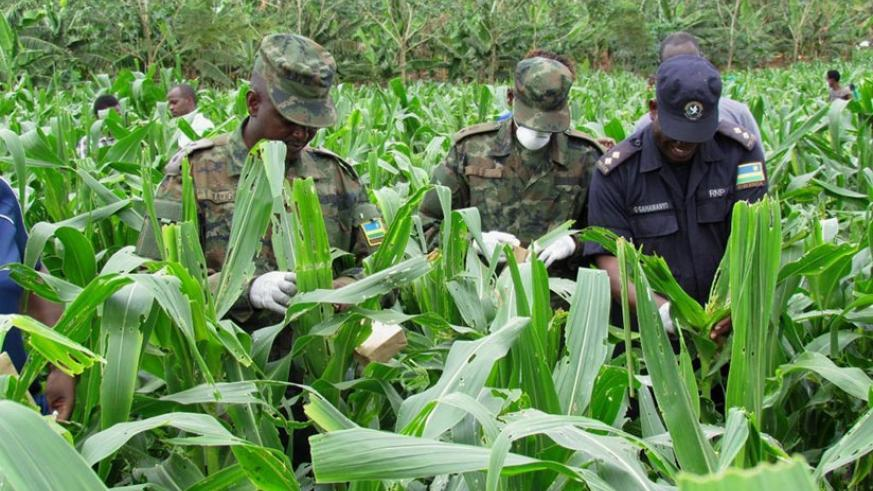Rwanda Defence Forces  and Rwanda National Police have joined the fight against Fall Army Worms to protect farmers against maize loss caused by the pest. (Courtesy photos)