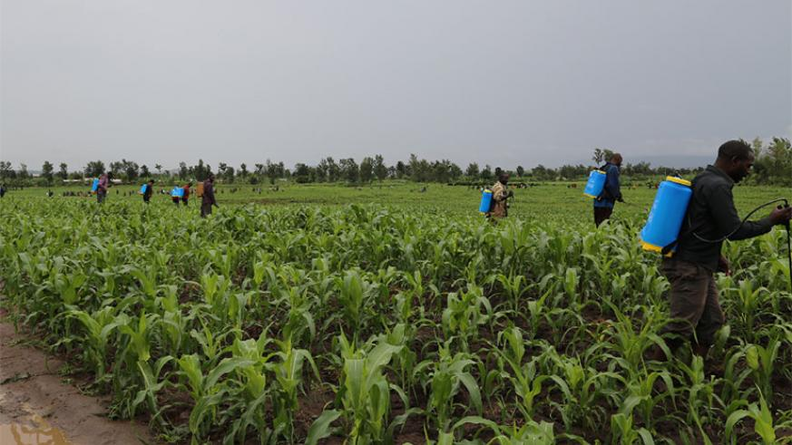 Pesticide spraying to fight against armyworms in Kirehe District. / Courtesy