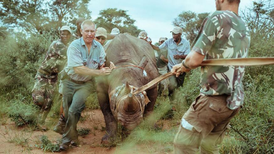 The capture team assists in navigating a rhino. / Courtesy