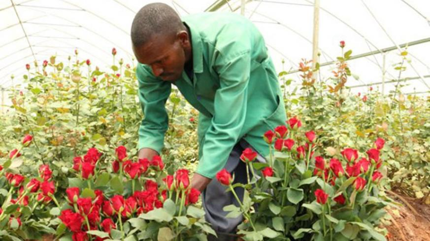 Rwanda's flowers have a high demand in Europe and other markets. The flagship Gishari Flower Park produces for the export market. (File)