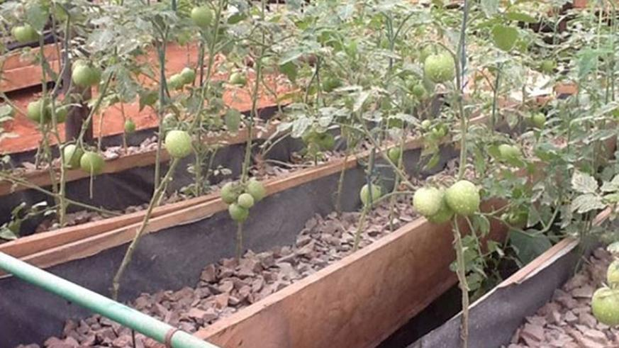 Tomatoes grown using soilless culture in Kayonza District. The practice is common in Israel. The country is going to start a project to support Rwanda's horticulture sector. / File.