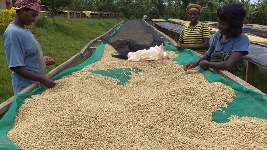 Women remove chuff from coffee beans drying on a rack. Coffee is one of Rwanda's traditional exports and among the top foreign exchange earners for the country. / Net.