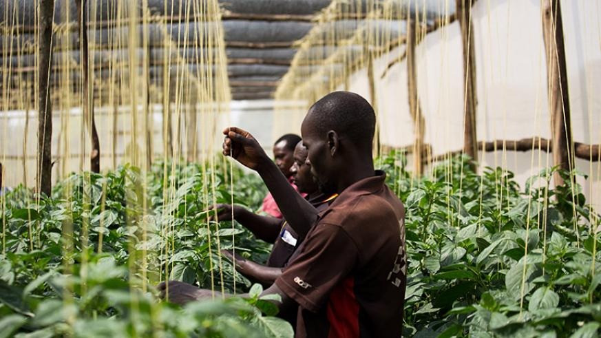 Rwamagana farmer Xavier Baributsa (middle) and some of his workers attend to green pepper at the farmer's greenhouse. Business-oriented farming is key to increase agro-production a....