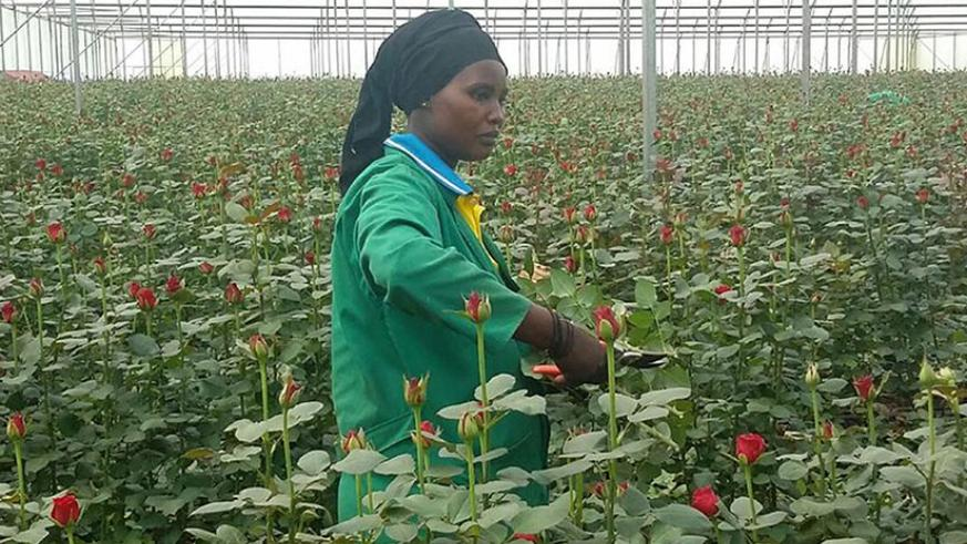 A worker harvests roses. Flower growers are seeking new markets to boost exports. / File