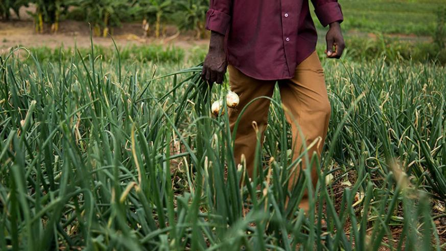 One of Mukandahiro's employees in the onion garden. / Peterson Tumwebaze