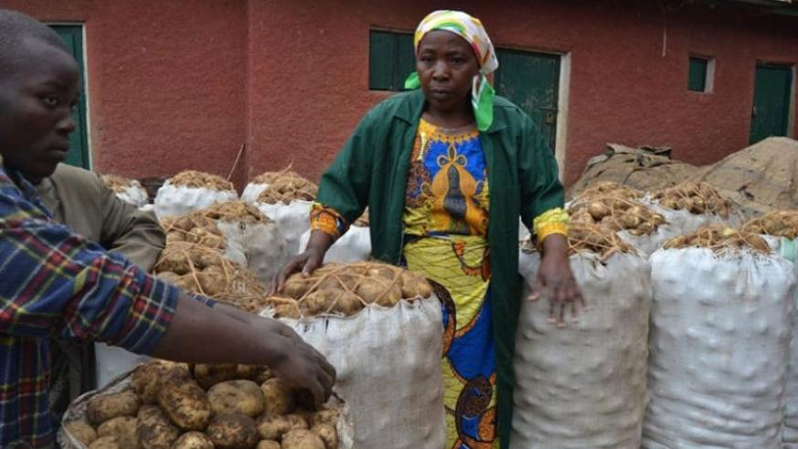 Farmers in Nyabihu district packaging Irish potatoes. The new fertiliser brand is tipped to help farmers double yields. / File.
