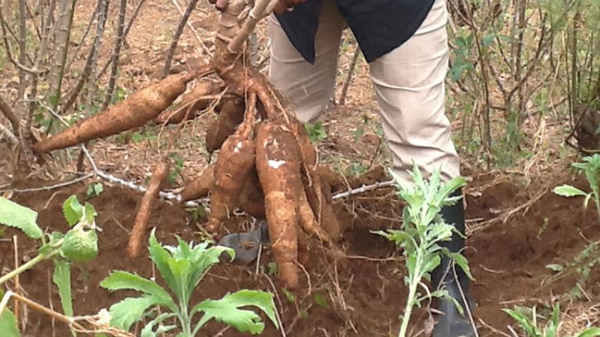 A farmer harvests cassava. Limited access to funds has affected growth the sector. / File