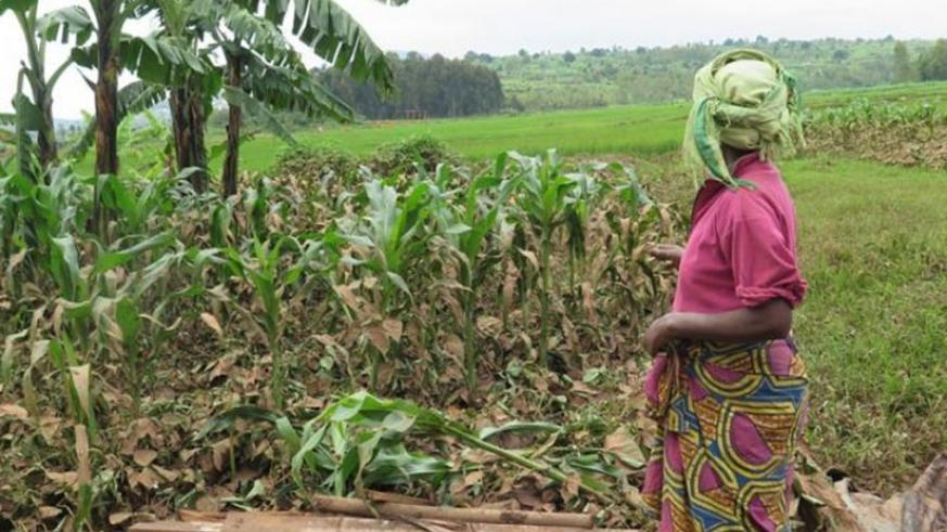 A Huye District resident looks at her garden of beans and maize that was destroyed by floods. File.
