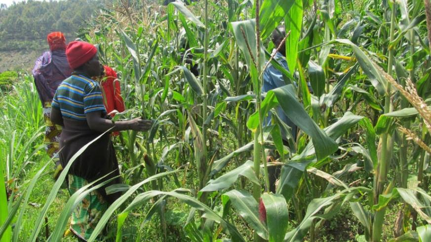 Farmers inspect their maize plantation (File)
