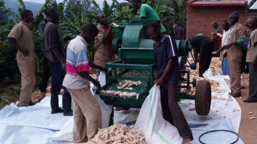 Youth cooperative members thresh maize after a harvest. File photo.