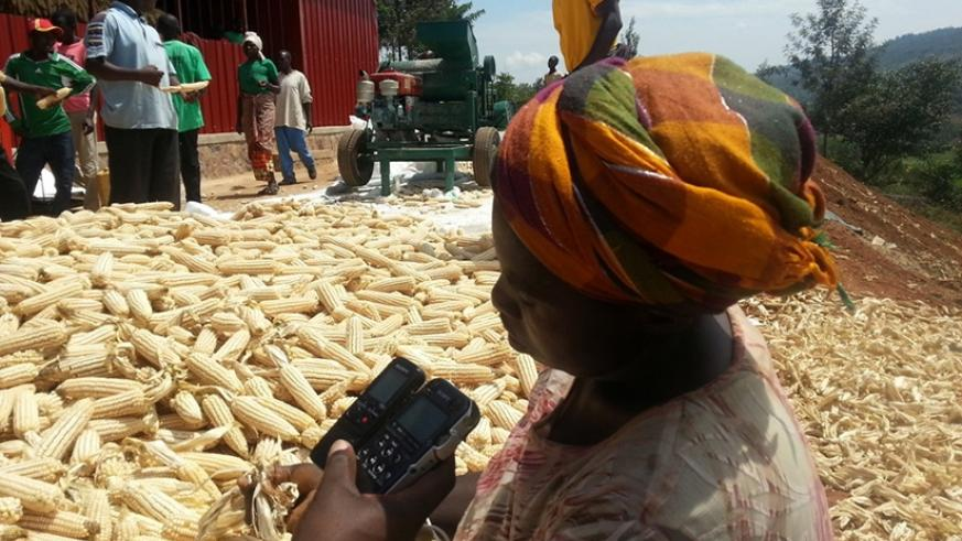 Maize growers belonging to KOREMU Cooperative in Murama Sector, Ngoma District in Eastern Province. / File.
