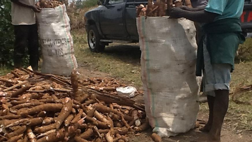 Men pack cassava for processing.  File.