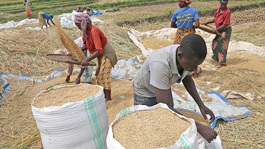 Rice farmers prepare the crop for market. Trade in grains and cereals is expected to grow under the deal. /  File.