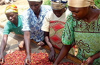 BENEFICIARIES: Workers sort coffee berries in a washing plant in the Northern Province. (File photo)