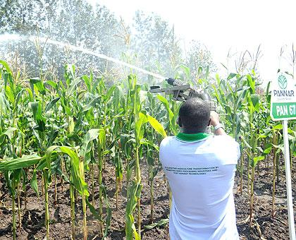 Irrigation on a model maize plantation. Government has called upon farmers to employ modern methods in order to get higher yields. The Sunday Times/ File.