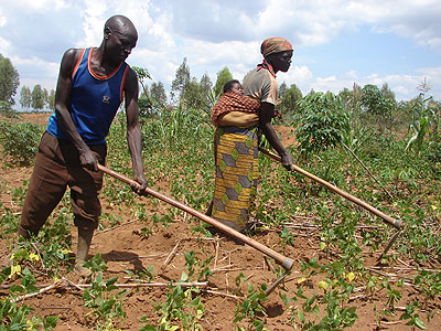 Mathias Nsabimana from  Rweru Sector and his wife weed their beans farm. There are fears of possible food shortage in the area in the coming months  over prolonged drought. The New Times/ J Tabaro.