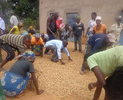 Gusta Mukansonera and Ruhangintwali (standing in extreme background) join association members to dry ground nuts. Sunday Times/Jean de la Croix Tabaro