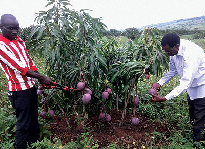 Ntabana (right) checks some of the mangoes on his 10-hectare plantation. The New Times / Gertrude Majyambere