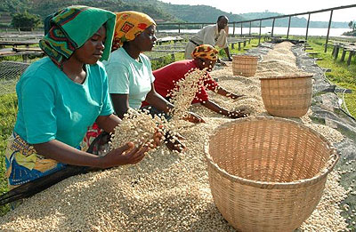 <p>Co-operatives farmers drying New Rwanda Light Roast Coffee that hit the market in January. The country&rsquo;s coffee sector is struggling to shrug off a &lsquo;potato taste&rsq....