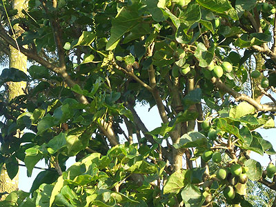 A jatropha tree: Oil is extracted from its seeds to make bio-diesel. Rwanda's bio-fuel project could soon be operational.