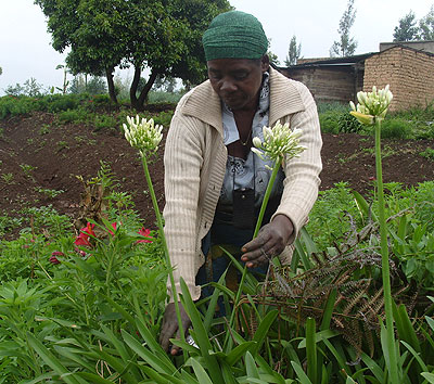 A farmer harvests ornamental flowers. Improving export volumes for non-traditional items like flowers is one the new initiatives. File.
