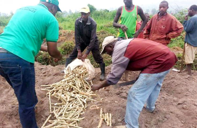The Nase14 cassava variety was acquired from Uganda and   officials said tests were carried out on it to confirm it was   disease-free and resistant. (Jean Pierre Bucyensenge)