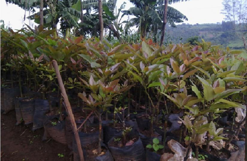 An ovacado nursery bed in Huye District. (JP. Bucyensenge)