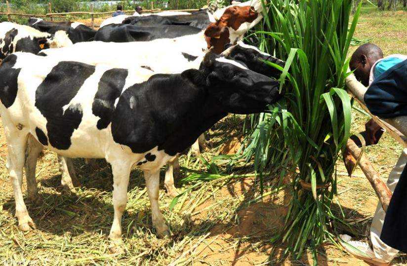 Some of the exotic cattle given to vulnerable families under the Girinka programme in Eastern Province. (File)