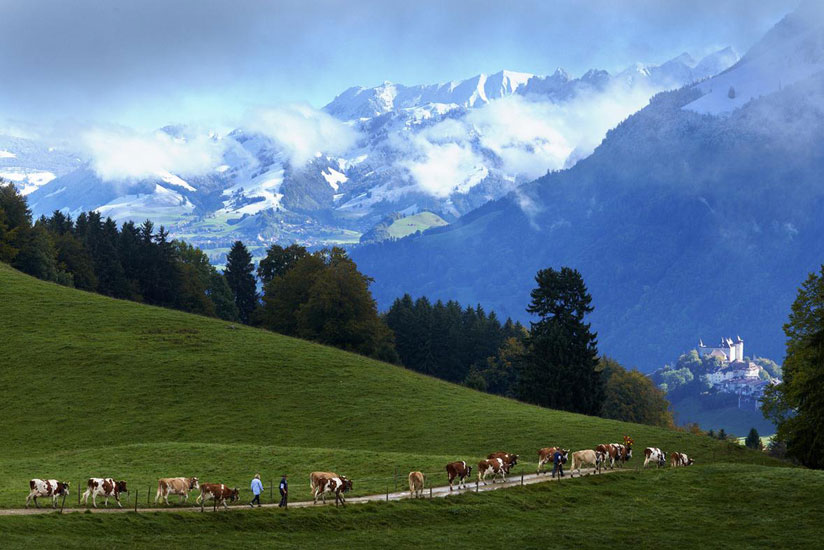 Cattle rearing is a common activity in Fribourg (Courtesy photo)