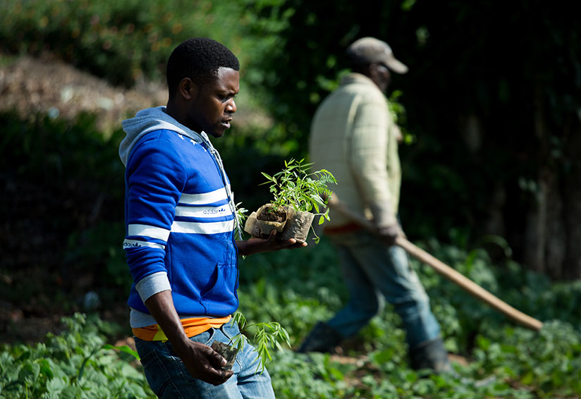 1511641448A-resident-of-Bukinanyana-village,-Kamatamu-cell-carries-trees-to-plant-during-Umuganda-Timothy-Kisambira