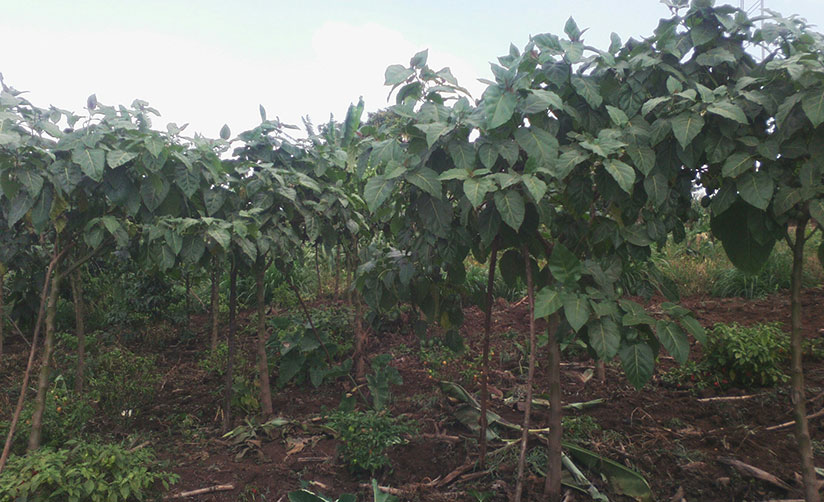 1515446087Mukazigamas-small-tree-tomato-and-and-chilli-field-earns-her-over-Rwf300000-a-month.-Kelly-Rwamapera
