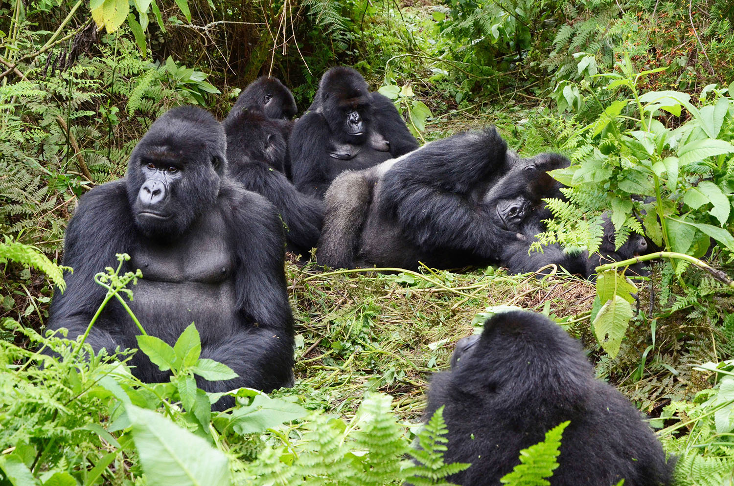 What you need to know about mountain gorillas | The New Times | Rwanda