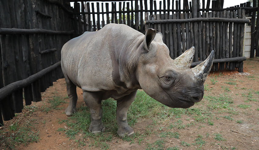 From Europe to Rwanda: The journey of five rhinos | The New Times