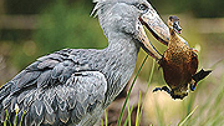 Shoebill is the most sought bird in Rwanda.