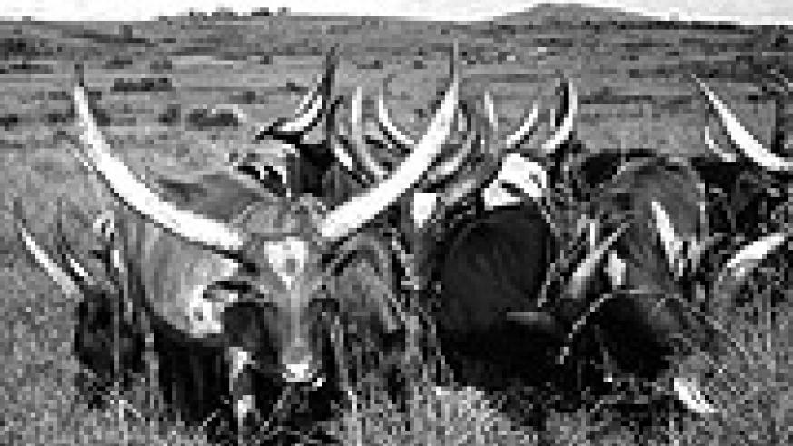LONG-HORNED ANKOLE COWS: Pastoralists are rarely safe with their cattle.