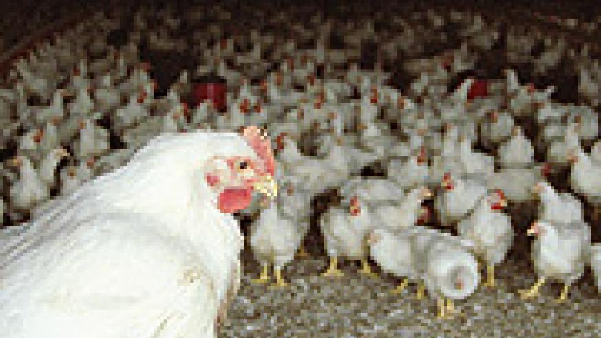 Broilers. Each chick in Rwanda is retailed at Frw1,500.